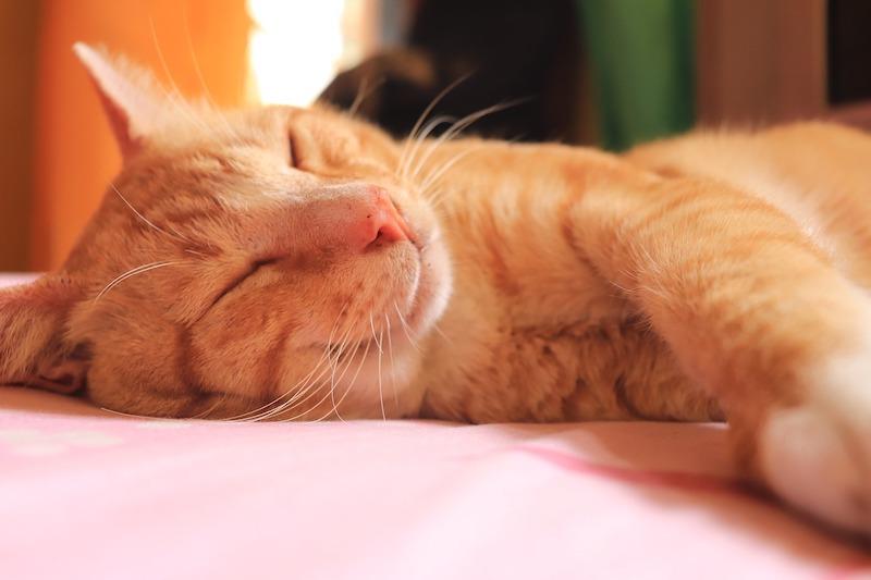 Orange calico cat sleeping