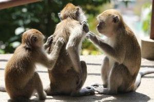 Three rhesus monkeys, grooming or scratching each other