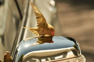 Gold colored bird getting food on top of an outside rear-view mirror