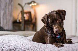 Chocolate lab dog on bed